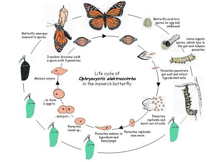 Caterpillar Life Cycle